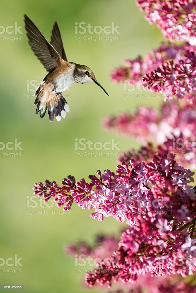 Hummingbird hover mid-air in the garden vertical image stock photo