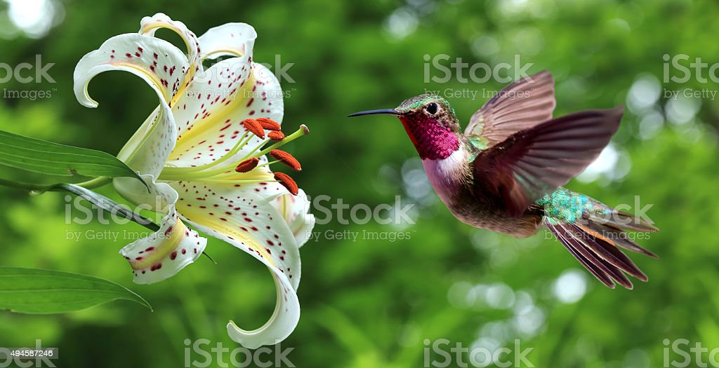 Hummingbird hovering next to lily flowers panoramic view stock photo