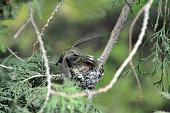 Hummingbird hovers over nest with egg