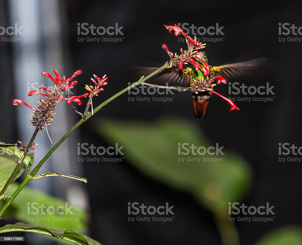 Hummingbird in flight on a flower stock photo