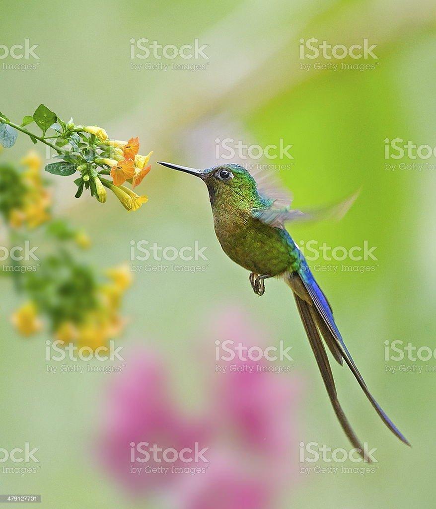 hummingbird in flight stock photo