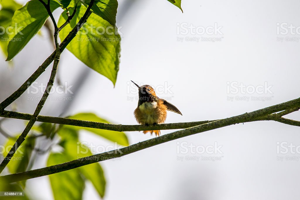 Hummingbird  in Golden Gate Park stock photo