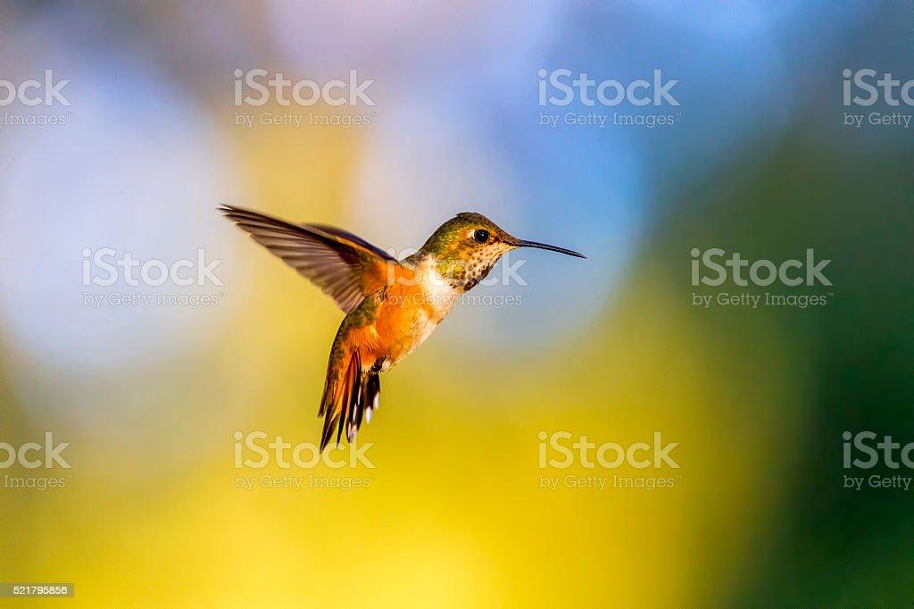 Hummingbird in Golden Gate Park, San Francisco stock photo