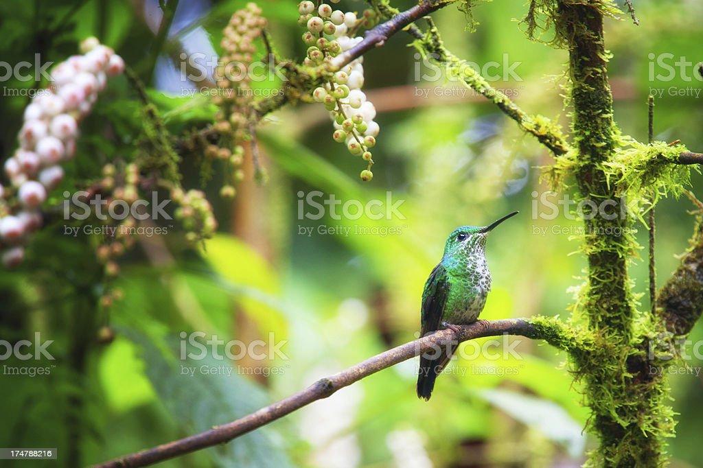 Hummingbird in rainforest stock photo