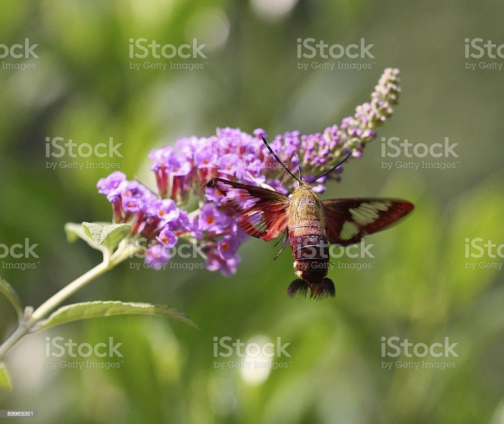 Hummingbird Moth at Butterfly Bush royalty-free stock photo