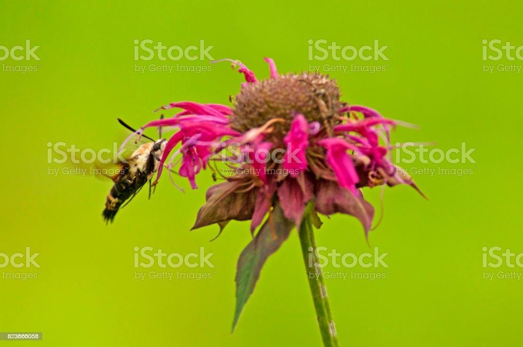 Hummingbird Moth flies around Bee-Balm blooms. stock photo