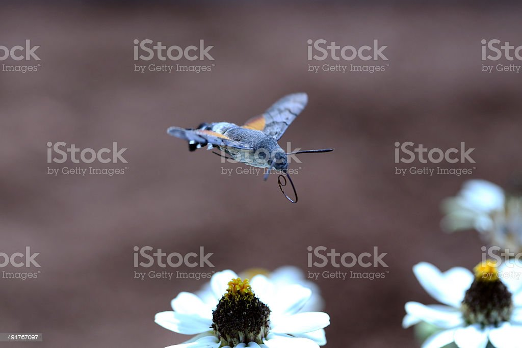 Hummingbird Moth in Flight stock photo