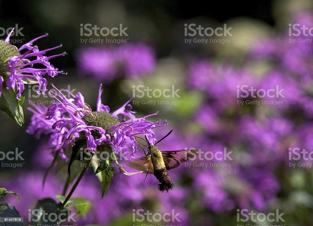 Hummingbird Moth on a Purple Flower royalty-free stock photo