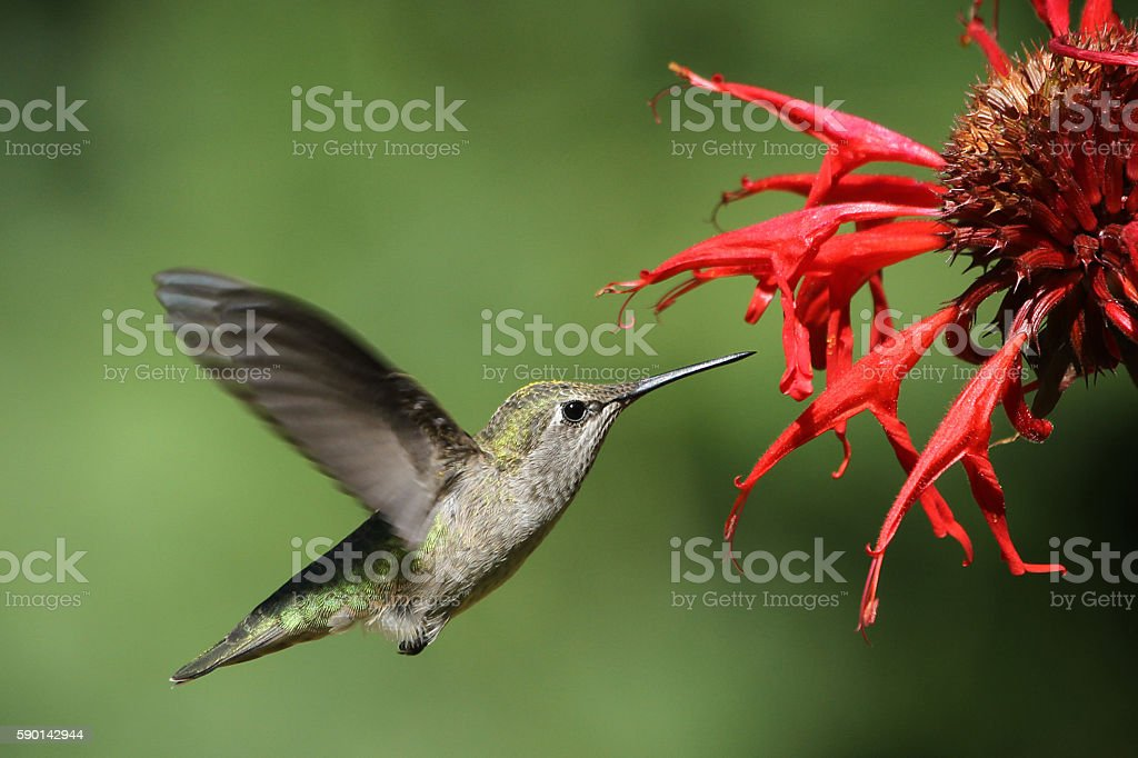 Hummingbird on Bee Balm stock photo