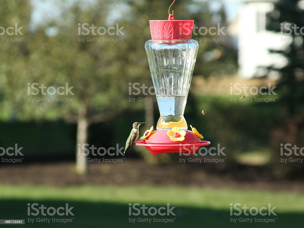 Hummingbird on feeder with Bee approaching stock photo