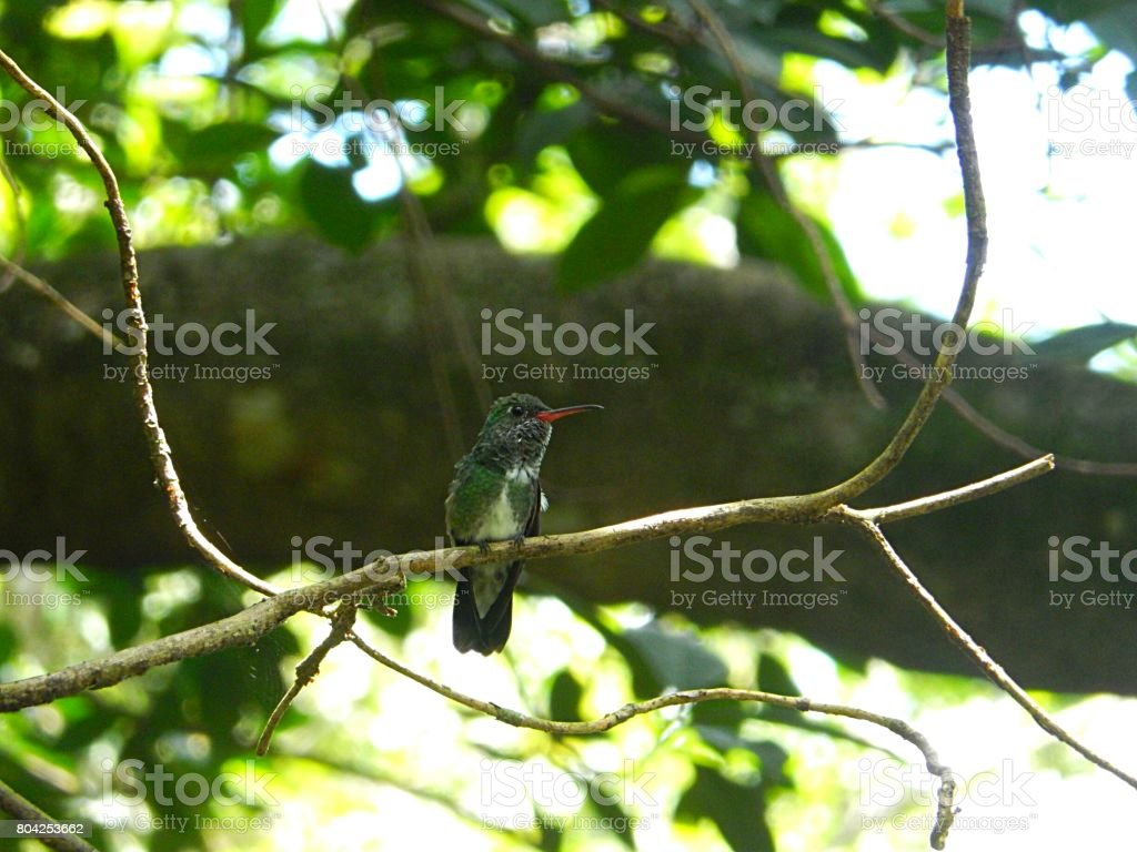 Hummingbird stock photo