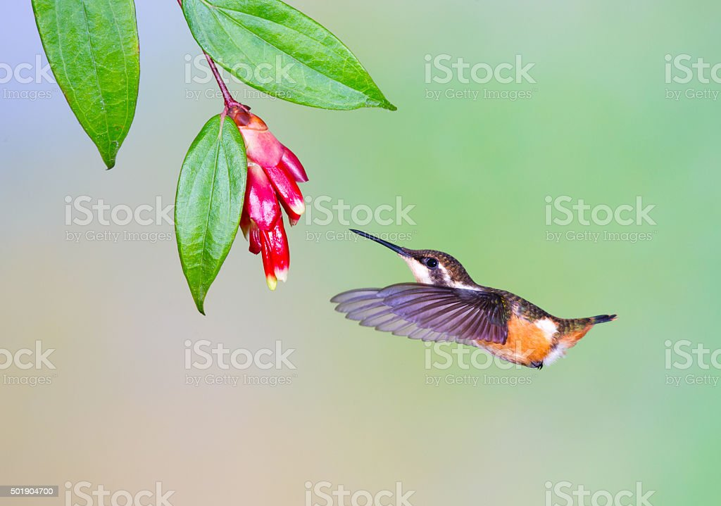 Hummingbird , Purple-throated Woodstar stock photo