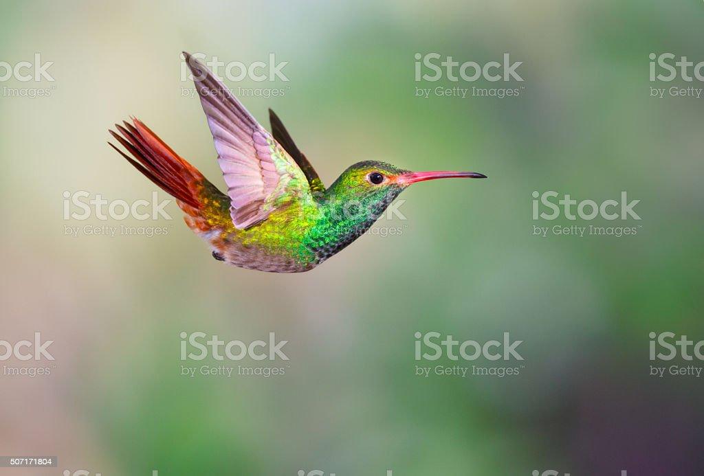 Hummingbird , Rufous-tailed stock photo