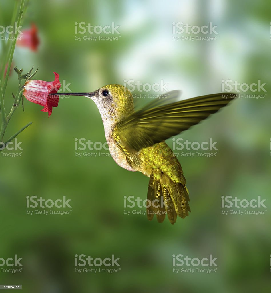 Hummingbird sipping from a flower stock photo