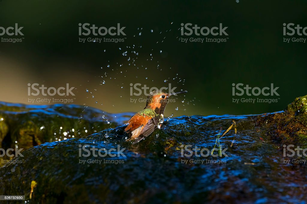 Hummingbird Splash the Water in Golden Gate Park, San Francisco stock photo