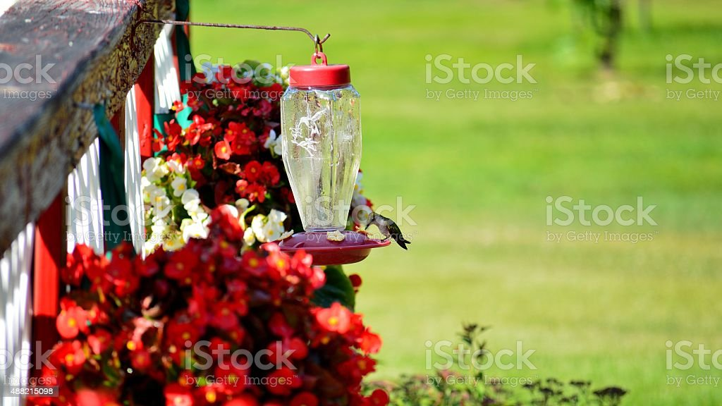 Hummingbirds Amongst Geraniums Potted by Fence stock photo