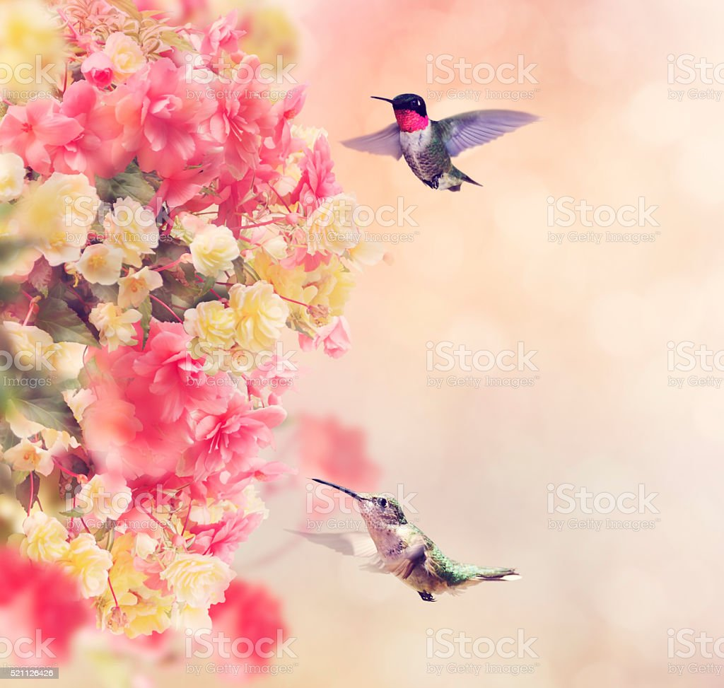 Hummingbirds and Flowers stock photo