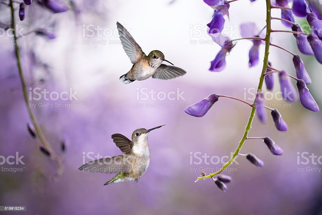 Hummingbirds over background of purple wisteria stock photo