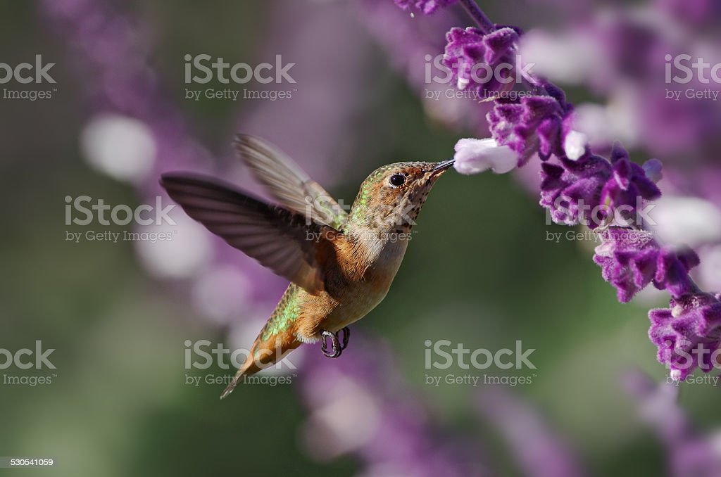 Hummingbrid stock photo
