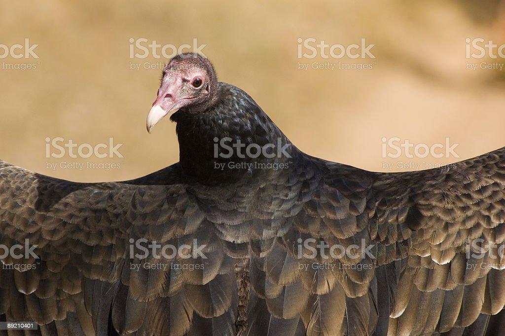 Humor shot -  Turkey Vulcher a bird of prey royalty-free stock photo