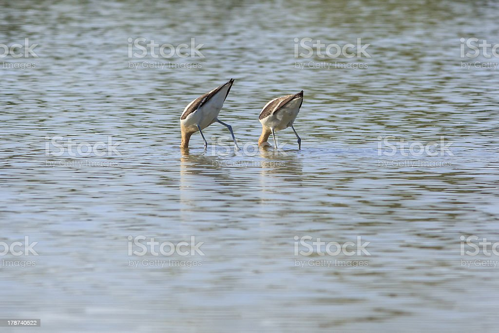 Humorous Bird Butts in the Air stock photo