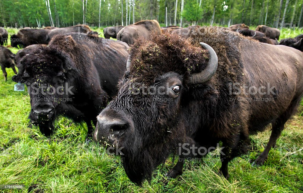 Humorous Bison Gives A Glare stock photo