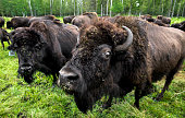 Humorous Bison Gives A Glare