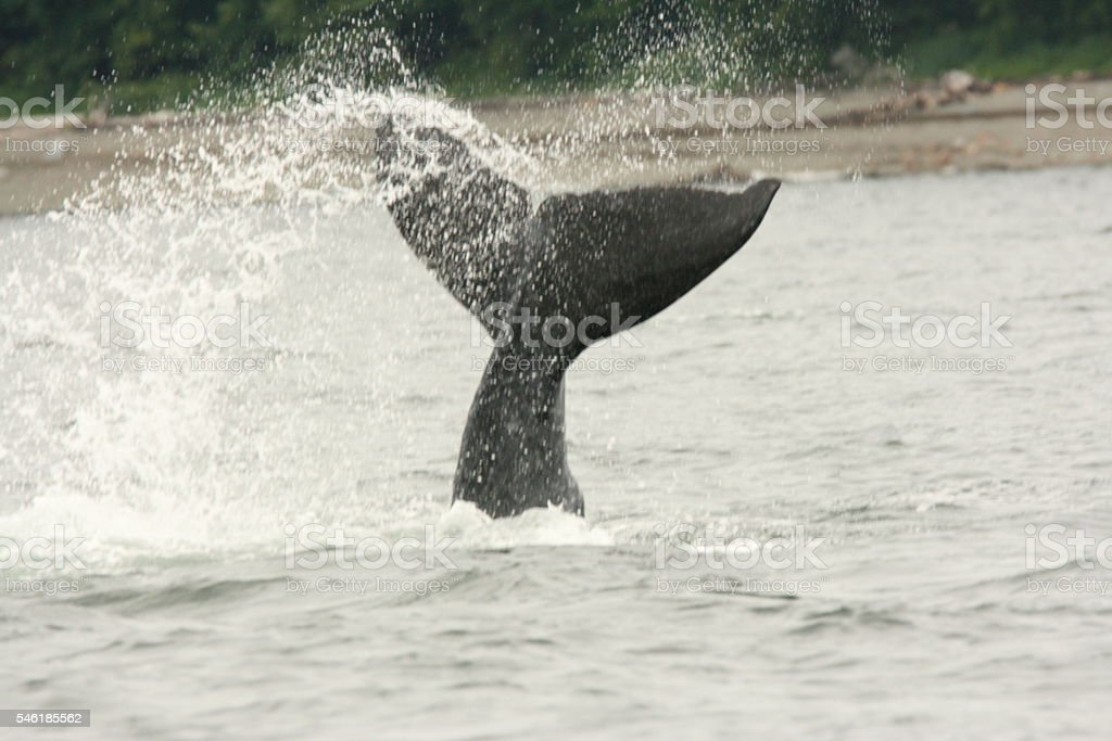 Hump Back Whale Tail Fluke Breaking Surface stock photo
