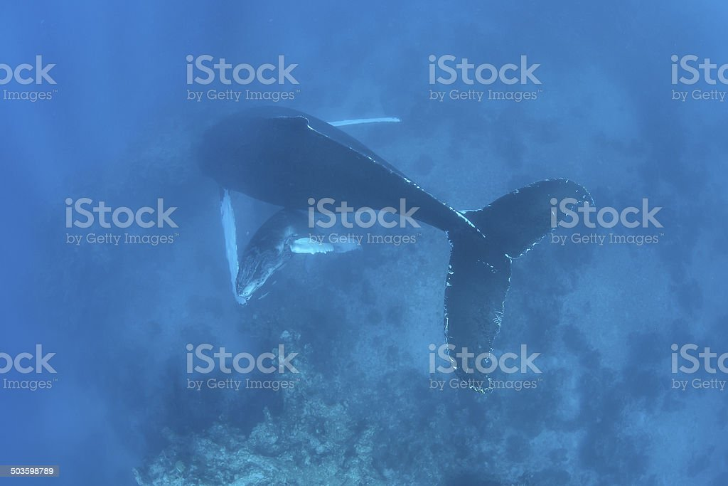 Humpback Mother and Calf stock photo