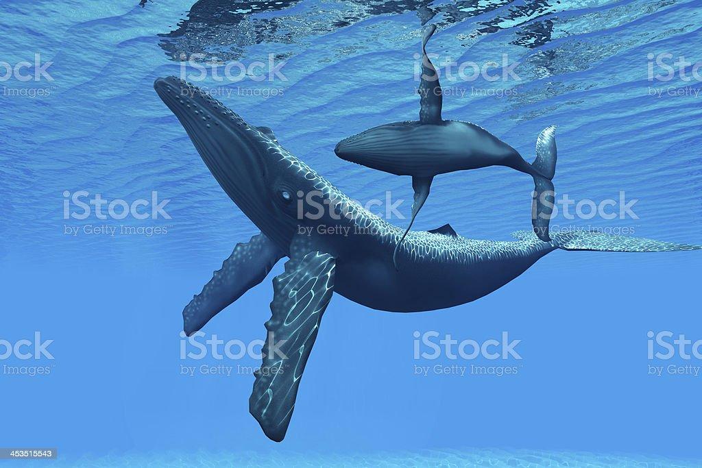 Humpback Whale Bonding stock photo