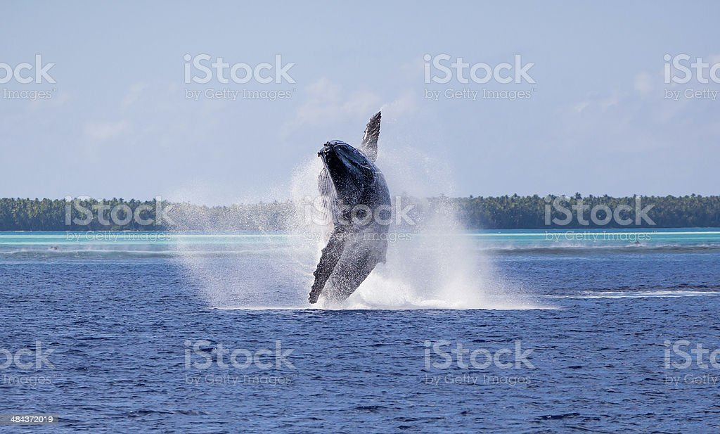 Humpback whale breach in Tahiti stock photo