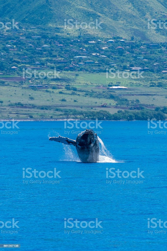 Humpback whale breaches stock photo