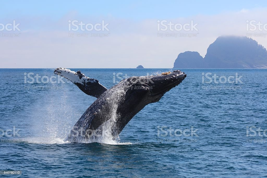 Humpback Whale Breaching Pacific Ocean Alaska stock photo