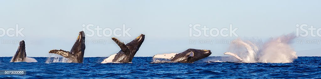 Humpback Whale Breaching Sequence stock photo