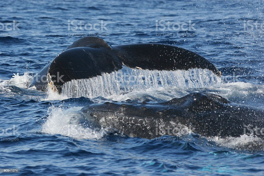 Humpback Whale Competition Pod royalty-free stock photo