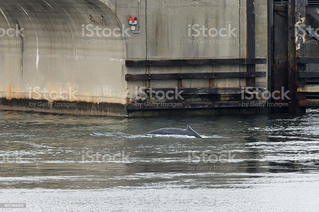 Humpback whale cutting 'em off at the pass stock photo