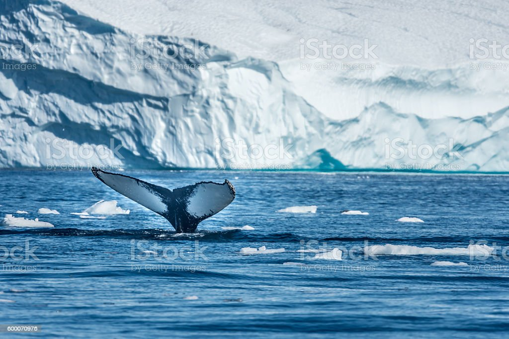 Humpback whale, Disko Bay, Greenland stock photo