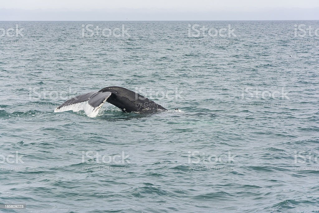 Humpback Whale diving. Megaptera novaeangliae royalty-free stock photo