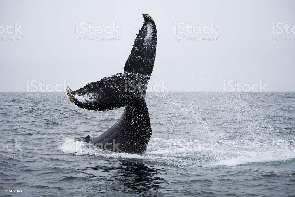 Humpback Whale doing the 'Twist' stock photo