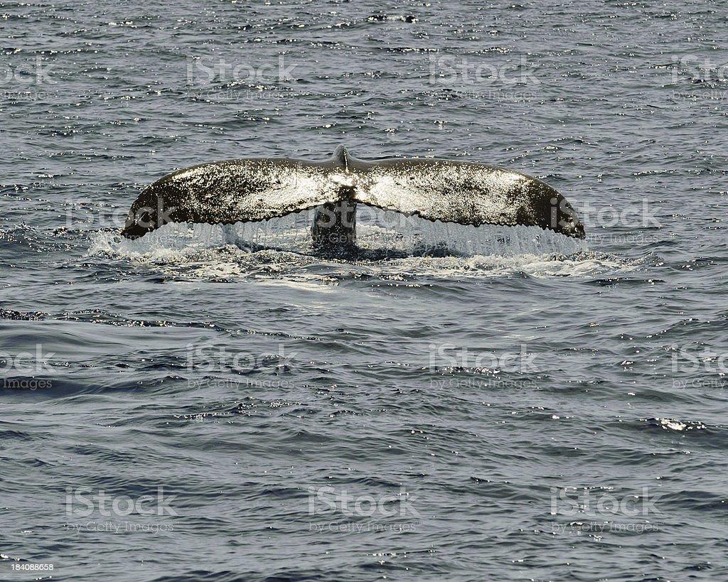 Humpback Whale Fluke stock photo