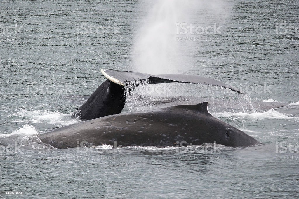 Humpback whale group royalty-free stock photo