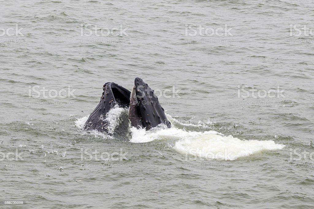 Humpback Whale Head, Pacifia, California stock photo