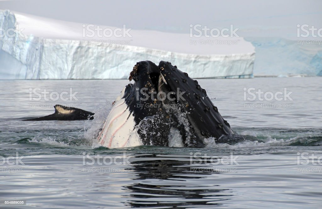 Humpback whale head stock photo