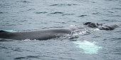 humpback whale in artic ocean