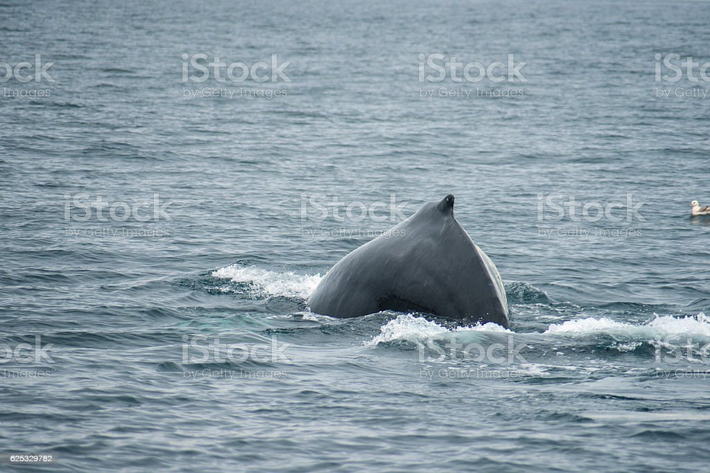 humpback whale in artic ocean stock photo