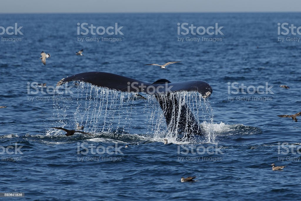 Humpback Whale in Provincetown MA stock photo