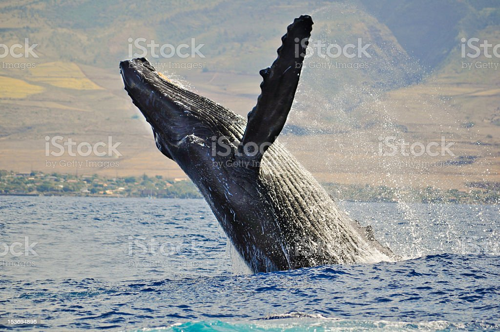 Humpback whale jumping and splashing ocean water stock photo