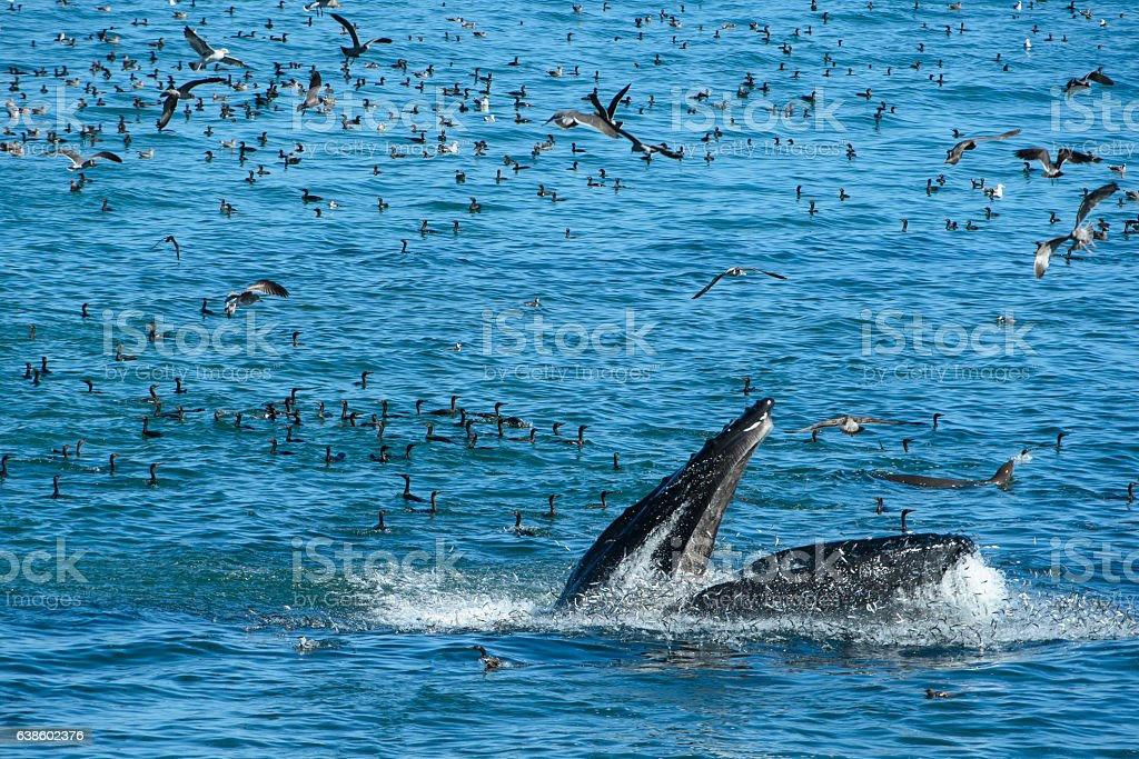 Humpback Whale Lunge Feeding on a School of Anchovy stock photo