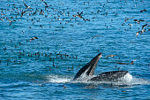 Humpback Whale Lunge Feeding on a School of Anchovy