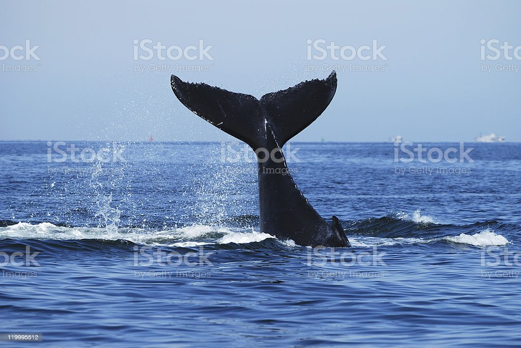 Humpback Whale, Megaptera novaeangliae, Namibia stock photo